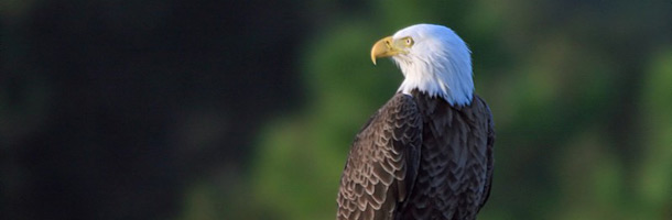 Picture of a Bald Eagle near Vancouver