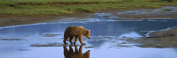 Picture of a grizzly bear crossing a stream